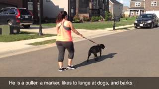 Bad Manners On The Walk, Before - The Calm K9 Dog Training