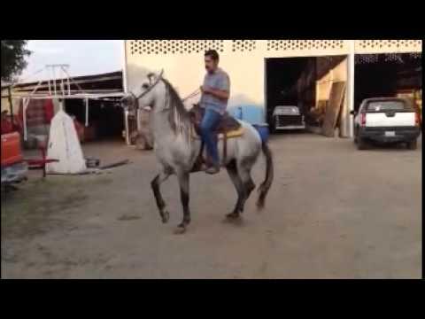 Caballos Leon Guanajuato