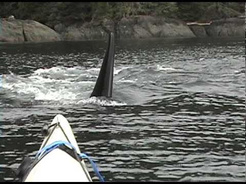 Orca whales approaching