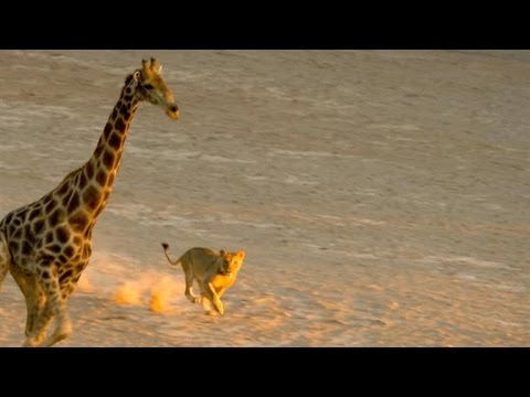 Incredible: Five Lions Take Down a Giraffe