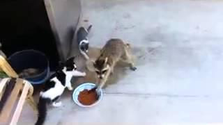 Енот ворует еду у кошек.