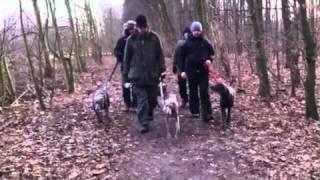 Vier Weimaraner Hunde Bei Der Gassirunde - Four Weimaraner Dogs In The Wood