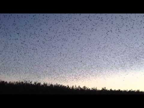 Thousands Of Tree Swallows Come To Roost In Front Of Your Eyes (VIDEO)