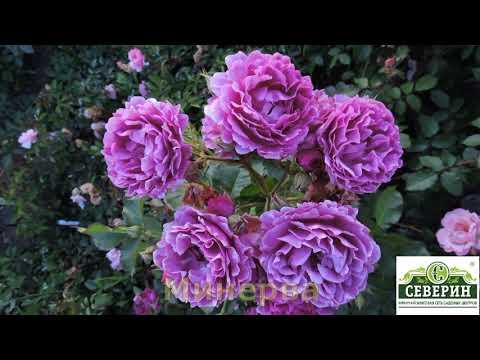 Розы флорибунда. Каталог на весну 2020 российских питомников.
