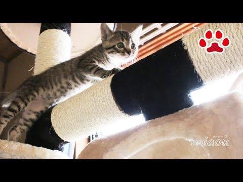 仔猫がキャットタワーを探検した The kitten explored the cat tower