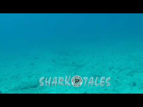 Hammerhead Shark checking out divers!