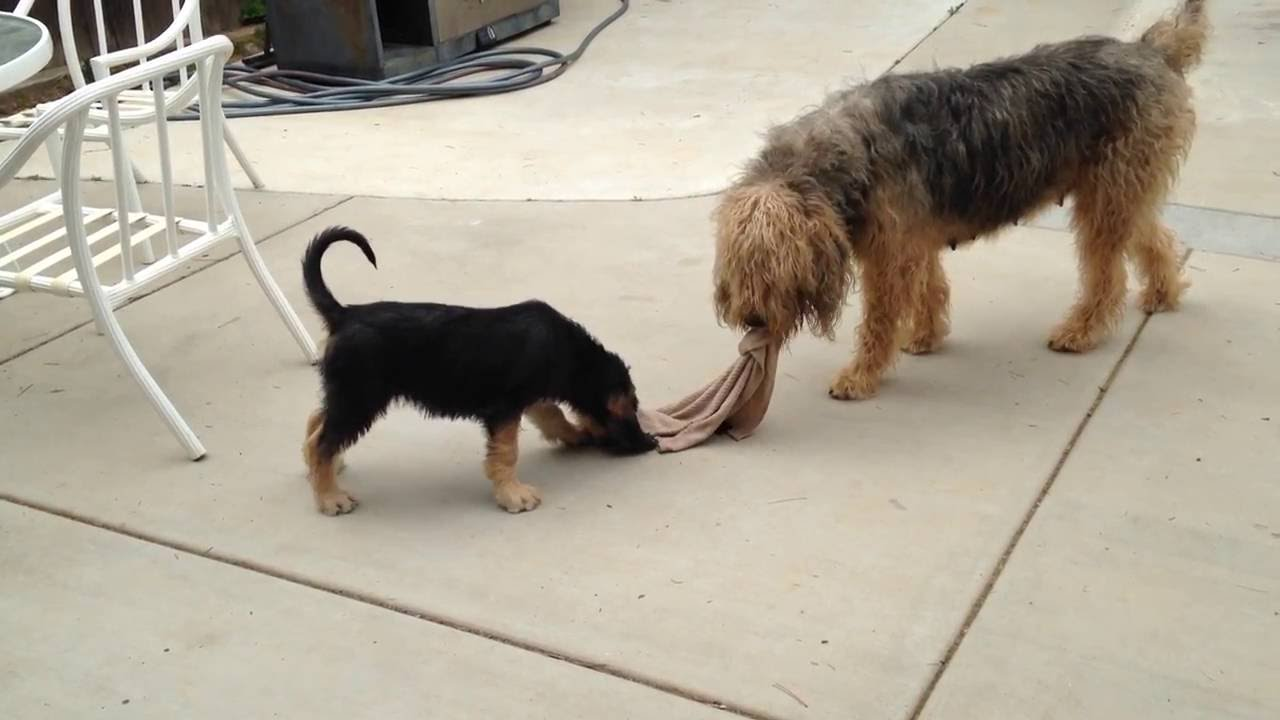 Blue Fairy Otterhound Puppies 2016: How to Play Tug - YouTube