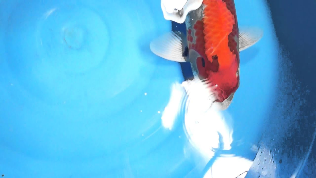Japanese koi aqua master koi food hi growth and color for Japanese koi fish wholesale