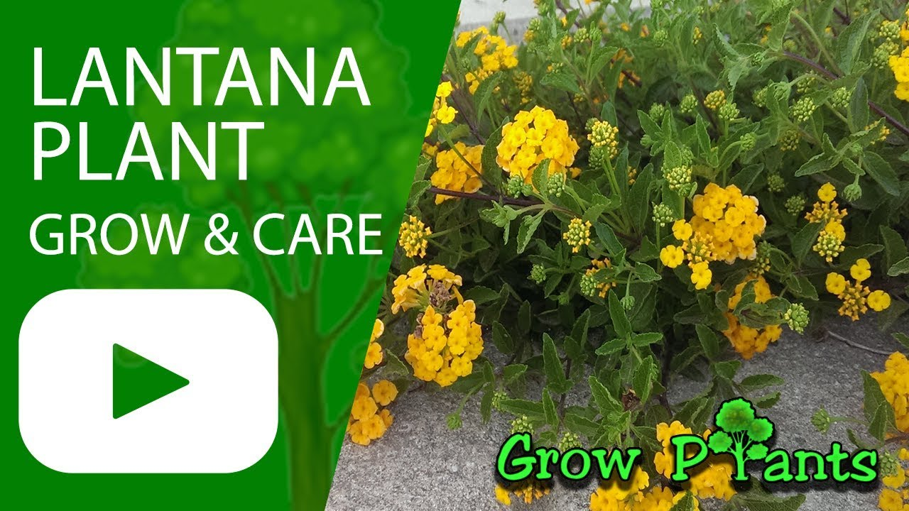 Lantana Plant How To Grow And Care Shrub Verbenas Youtube
