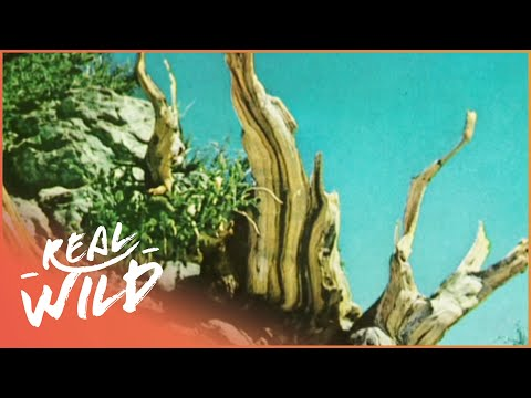 Oldest Tree On Earth: Curse Of The Methuselah Tree [Nature Documentary]   Wild Things