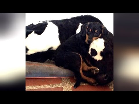 Months-old Puppy and Bull Calf Form Friendship in Shelter to Overcome Their Heartbreaking Past