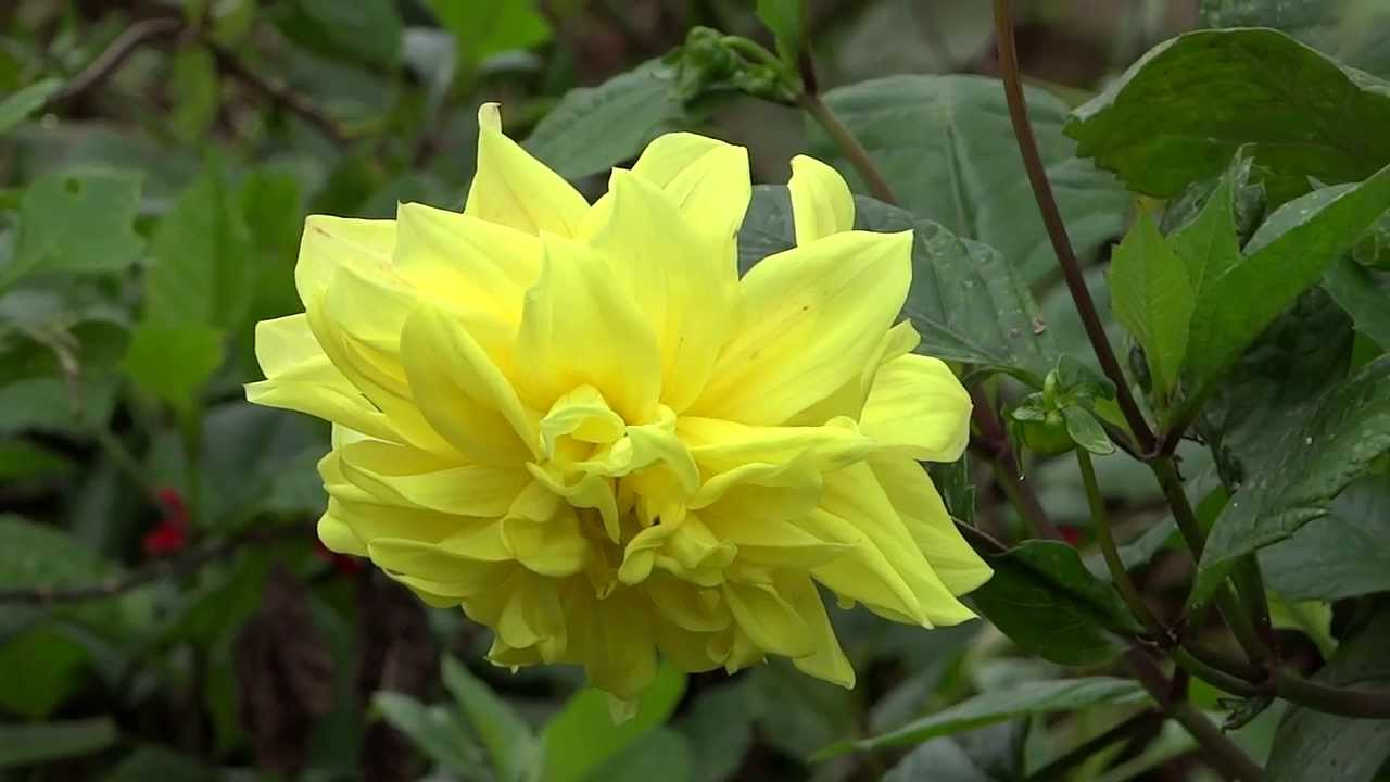 Yellow Color Beautiful Flower Kerala Youtube