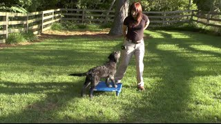 Dog Training, Dex, Goldendoodle Puppy: Recall + Place