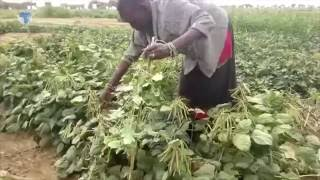 Irrigation transforms pastoralists into farmers to boost food production