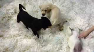 Labrador Retriever Puppies From Metropolitan Police Dog Section Playing