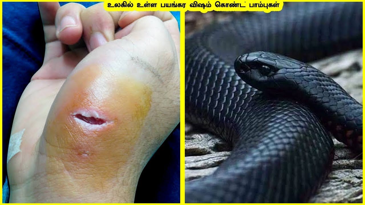உலகில் உள்ள பயங்கர விஷம் கொண்ட பாம்புகள் |Amazing snakes| 262