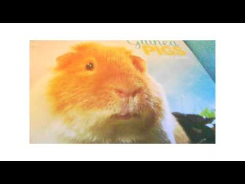 Cute guinea pig movie