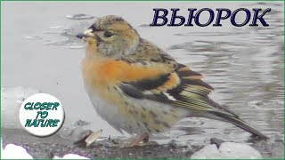 Вьюрок клюет семечки и пьет водичку / Brambling / Peppola