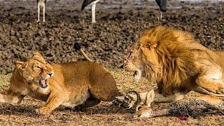 Львиный прайд в деле. Охота львиного прайда.  Атака льва.