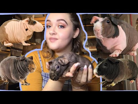 HOW TO CARE FOR SKINNY PIGS (HAIRLESS GUINEA PIGS)