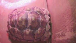 Виды черепах. Шпороносная черепаха - Красная книга МСОП - Уязвимые виды
