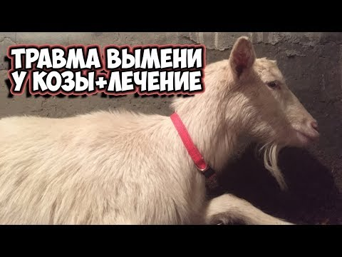 Лечение травмы вымени у козы