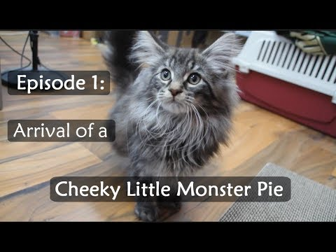 Ep1: Norwegian Forest Kitten arriving at our home!!