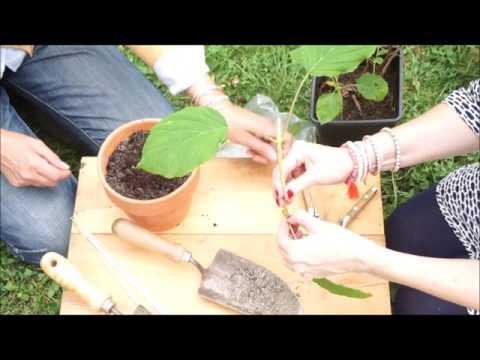 Cifo ascolta le tue piante l 39 ortensia doovi - Trapianto camelia ...