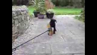 Cute Puppy Sid - Makes Clean Sweep - Labrador Cross English Springer Spaniel Pup Labradinger