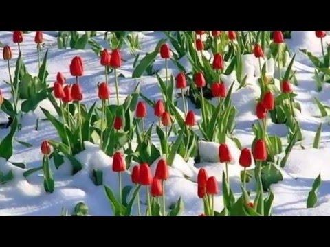 Цветущие тюльпаны  Невероятная красота природы