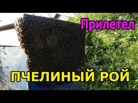 видео как ловить рои пчел
