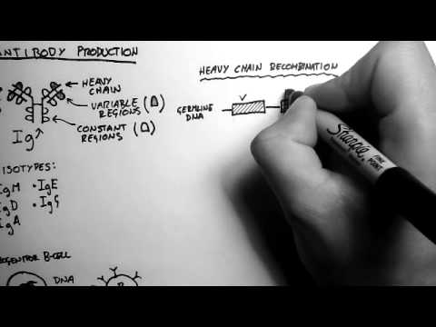 B-Cells 2 - Antibody Production and Recombination