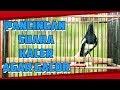 Pancingan Suara Burung Kacer Dijamin Kacer Anda Langsung Emosi  Mp3 - Mp4 Download