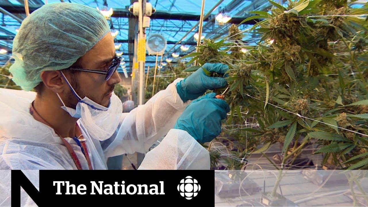 Ontario college launches pot production program