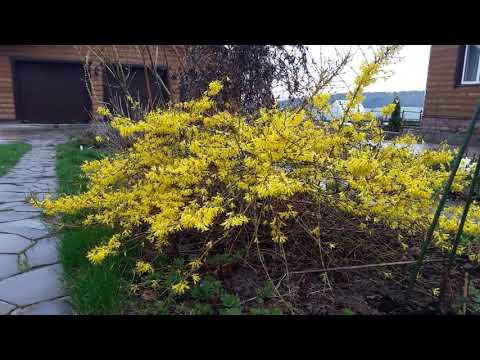 Форзиция- растение апреля.