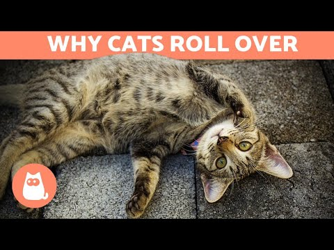 Pet Corner - Why Does My Cat ROLL OVER When He Sees Me?