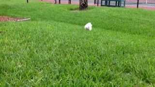Morkie Puppy (16 Week Old Maltese/yorkie Mix) Playing Fetch!