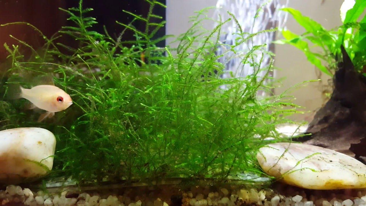 Superfish aquarium fish tank aqua 60 - New Tank Superfish Home 60 Java Moss Red Cherry Shrimp Rams And So Much More