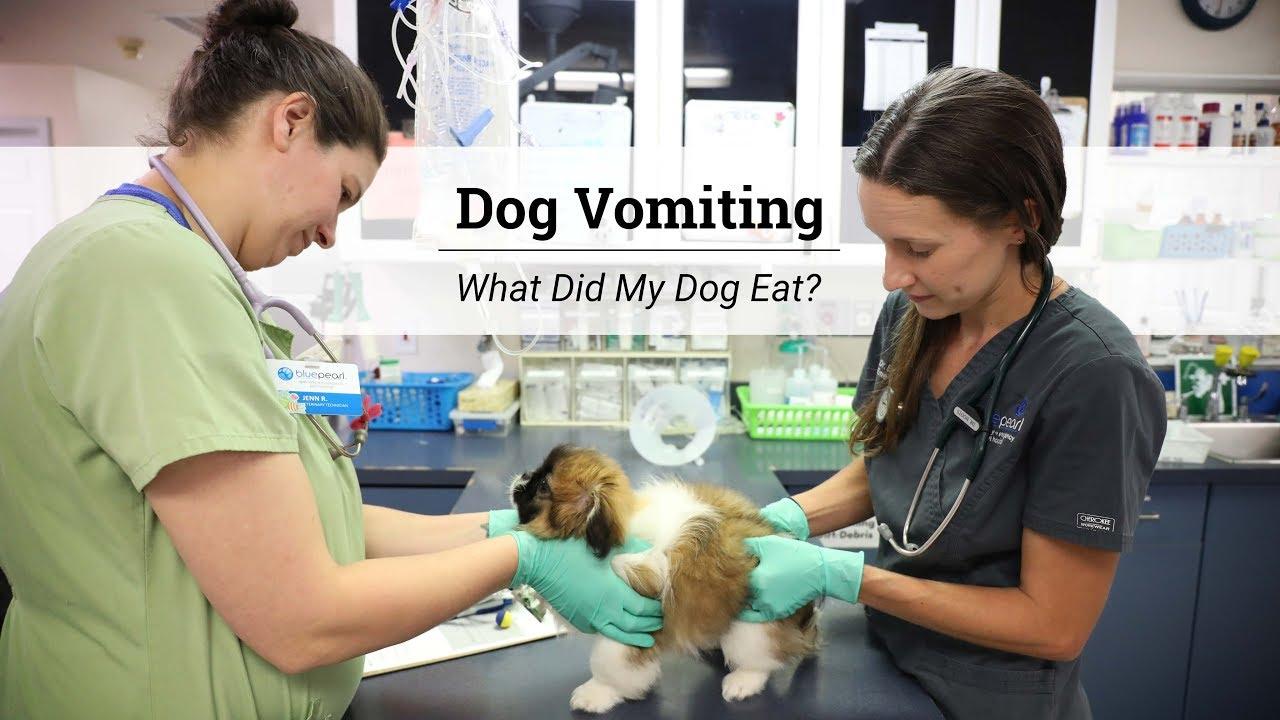 Dog Vomiting   BluePearl Pet Hospital