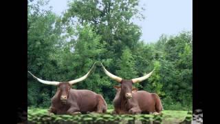 Phim Hoat Hinh | Một số hình ảnh về con trâu Giúp bé nhận biết con vật | Mot so hinh anh ve con trau Giup be nhan biet con vat
