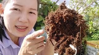 Cách trồng cây lựu trong chậu l Trồng lựu trên sân thượng l Cây giống lựu thường dễ trồng.
