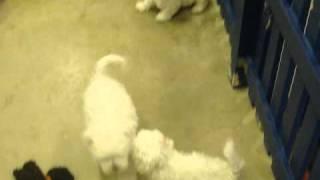 Lhasa Apso X Maltese Puppies