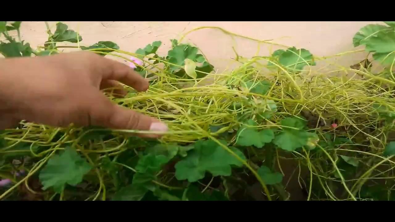 benefits of Aakash Beli Lahara जन्डिसको अचुक औषधि Aakash Beli Lahara र यसको  प्रयोग - YouTube