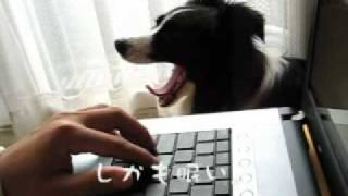 http://bodamo.exblog.jp/ おもちゃ破壊の常習犯ボーダーコリー。モリー...