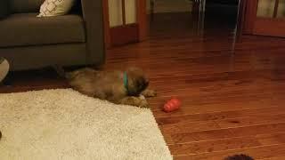 Briard puppy playing