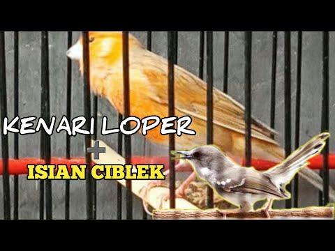 Download Lagu KENARI LOPER FUL GACOR + ISIAN CIBLEK .