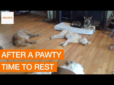 Tired Dogs Rest Together After Easter Weekend Party (Storyful, Dogs)