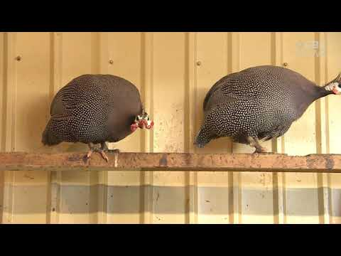 These guinea fowl will keep your farm tick free if you can put up with the noise