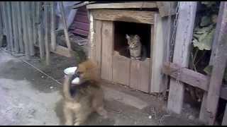 Кот нападает на собаку