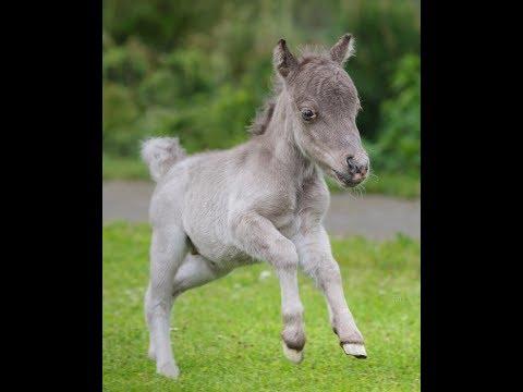 Самый маленький жеребёнок в мире родился в Ленобласти